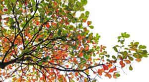 terminalia catappa, tree, branch
